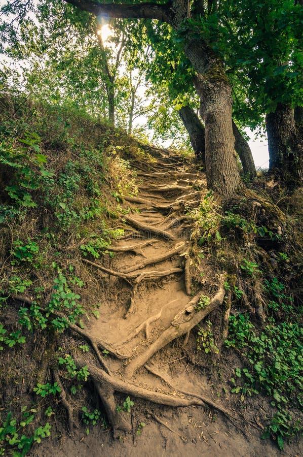 De zomer Forest Landscape natuurlijke trap van de wortels van de bomen omhoog de helling royalty-vrije stock fotografie