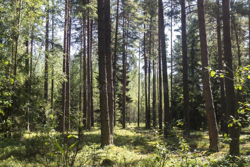 De zomer Forrest stock fotografie