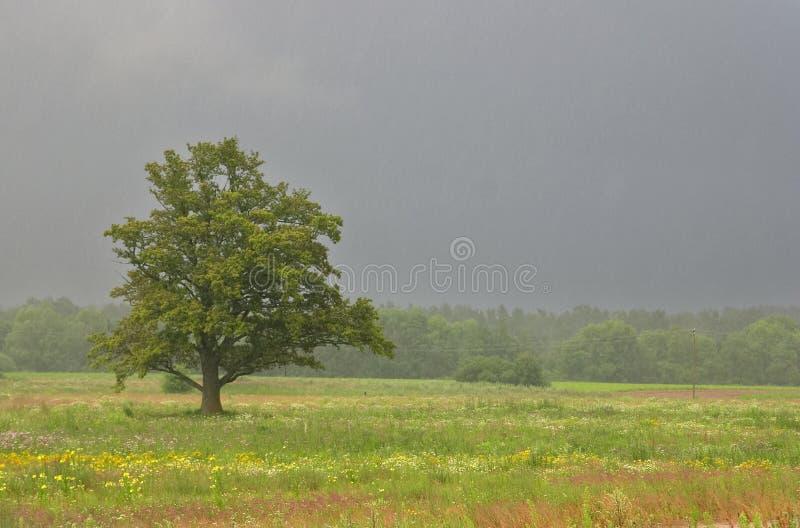 De zomer, gebied en eik, regen royalty-vrije stock foto's