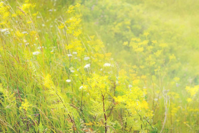 De zomer geel bloeiend gras tansy in de weide stock foto