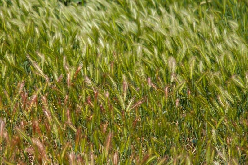 De zomer groen en rood aartje kruid Gebied van de landbouw het groene tarwe royalty-vrije stock foto's