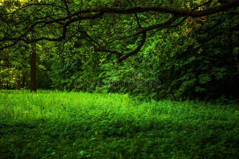 De zomer groen wild gras onder lange tak van eiken-boom met selectieve nadruk royalty-vrije stock foto's