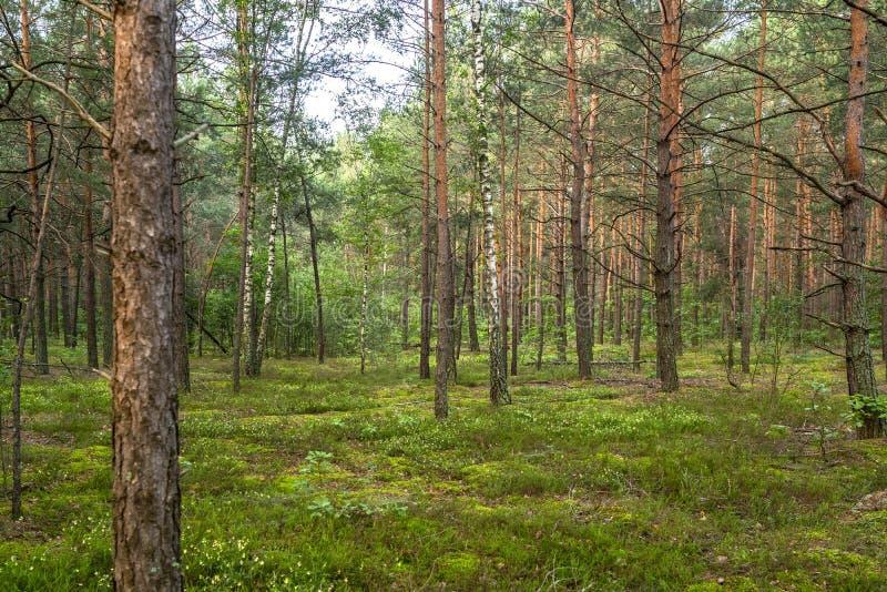 De zomer in mooi groen pijnboombos stock fotografie