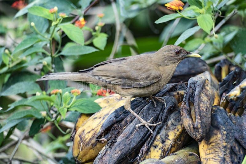 De zomer tanager vogel bij wilde bananen in het regenwoud stock afbeelding
