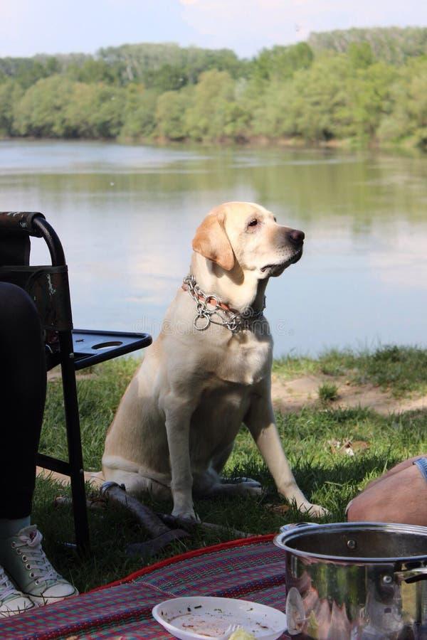 De zomer van de aardlente bloeit groene rivier leuke aardige groene hond Labrador stock foto's