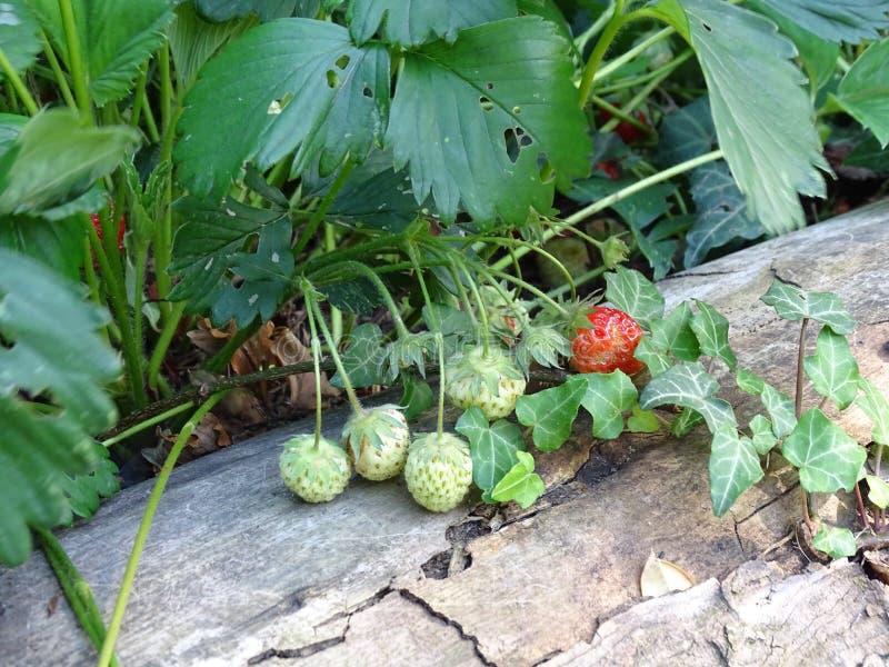 De zomer De verse aardbeien zullen spoedig daar zijn stock afbeeldingen