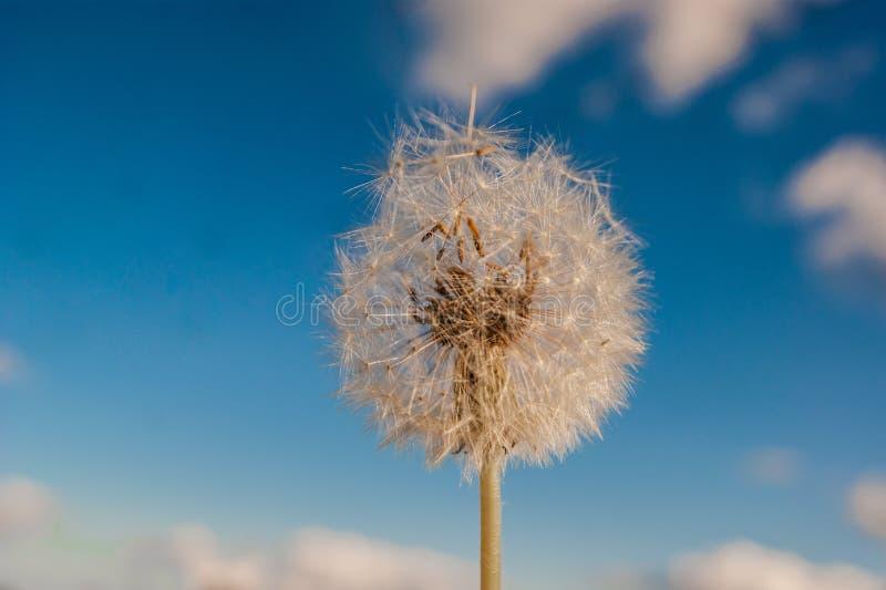 De zomer wildflowers De witte paardebloem begint reeds rond tegen de blauwe hemel met witte wolken te vliegen stock fotografie