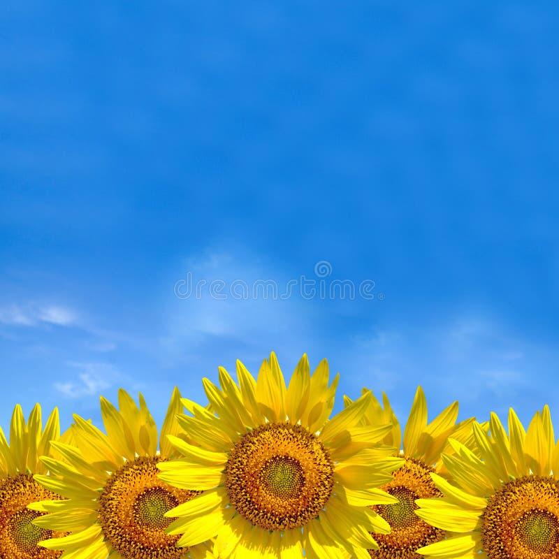 De zomerachtergrond, heldere gele zonnebloem over blauwe hemel royalty-vrije stock afbeeldingen