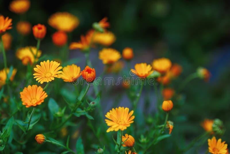 De zomerachtergrond met het groeien bloemencalendula, goudsbloem stock afbeelding
