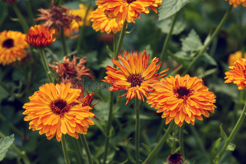 De zomerachtergrond met het groeien bloemencalendula, goudsbloem royalty-vrije stock foto