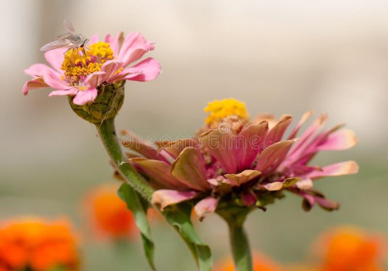 De zomerbloem met een vlieg stock fotografie