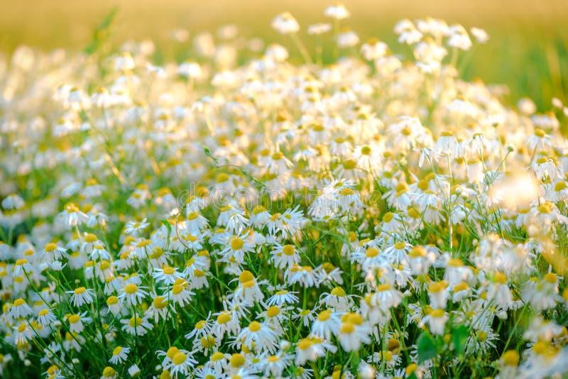 De zomerdag op een madeliefjeweide, mooie wilde bloemen met witte bloemblaadjes stock foto's