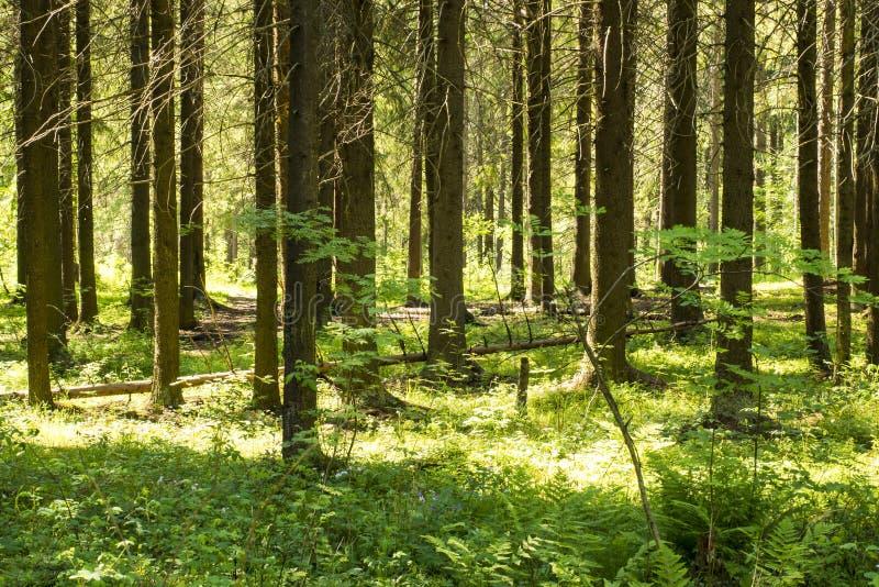 De zomerdennenbos stock afbeelding