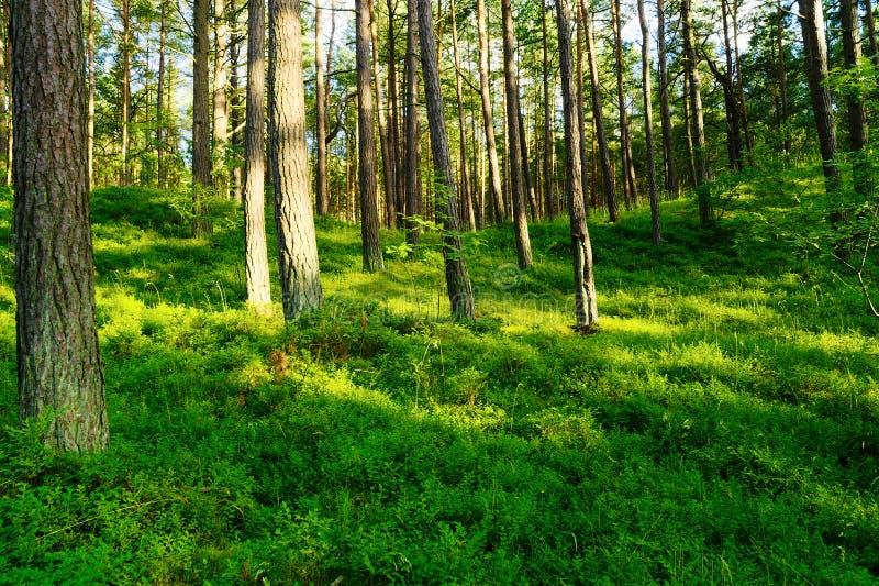 De zomerdennenbos met bosbesseninstallaties die in bos understory groeien Scots of Schotse pijnboompinus sylvestrisbomen aan kant stock afbeelding