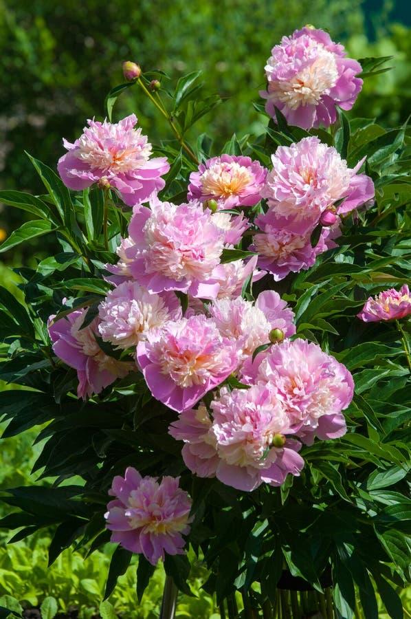 De zomerfoto's van bloemen De pioen is roze Verse mooie bloomin royalty-vrije stock afbeeldingen
