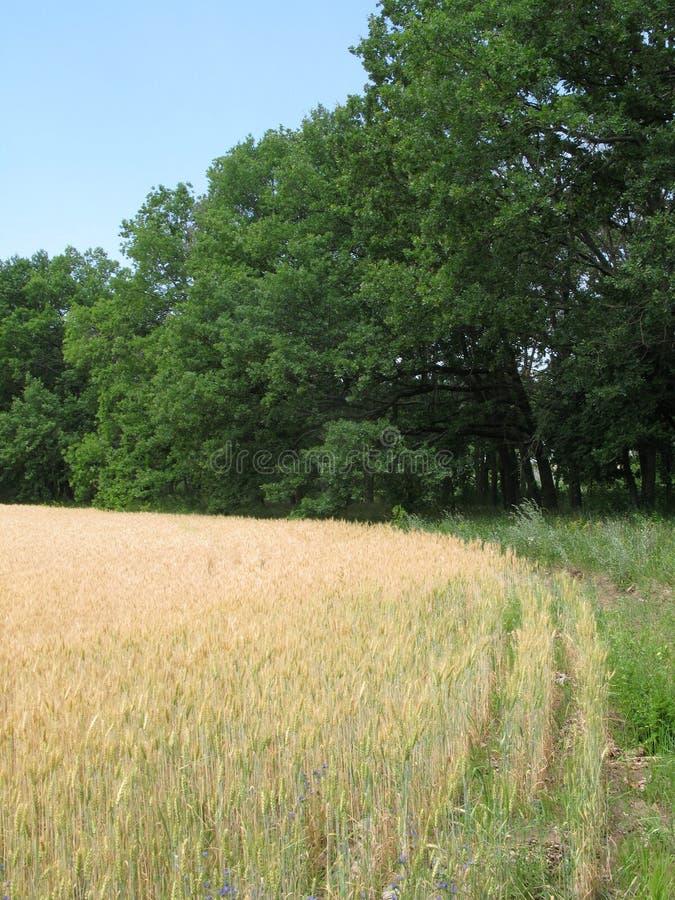 De zomergebied en bos royalty-vrije stock afbeeldingen