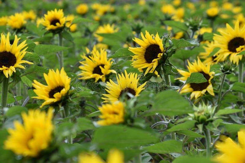 De zomergebied met grote gele bloeiende zonnebloemen stock afbeelding