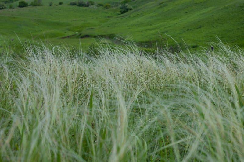 De zomerlandschap, gebied van pluimgras onder de blauwe hemel royalty-vrije stock afbeeldingen