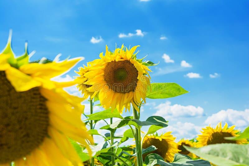 De ZOMERlandschap Gebied van zonnebloemen onder de blauwe hemel royalty-vrije stock fotografie
