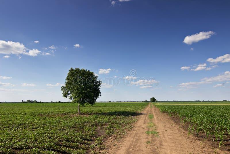 De zomerlandschap met landweg en gebieden Eenzame boom royalty-vrije stock afbeeldingen