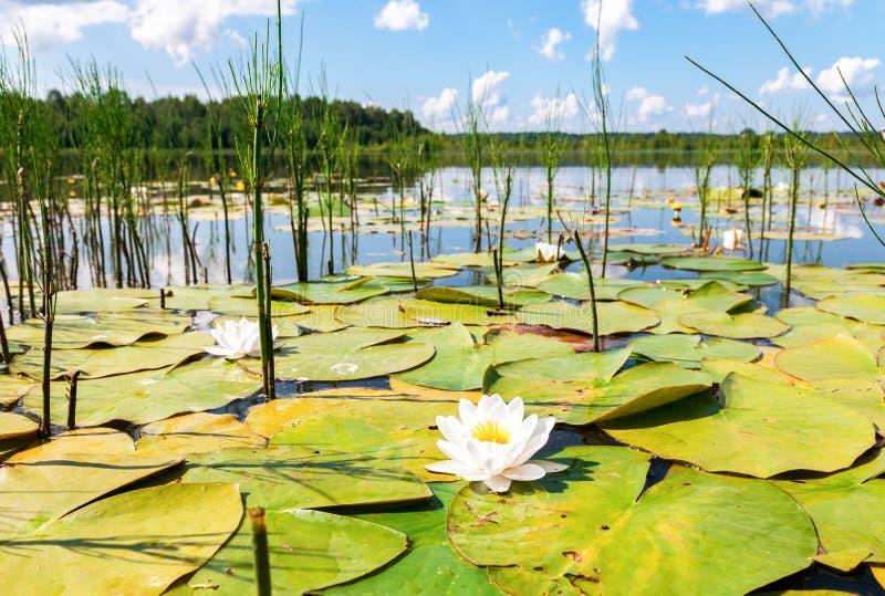 De zomerlandschap met waterleliebloemen royalty-vrije stock afbeeldingen
