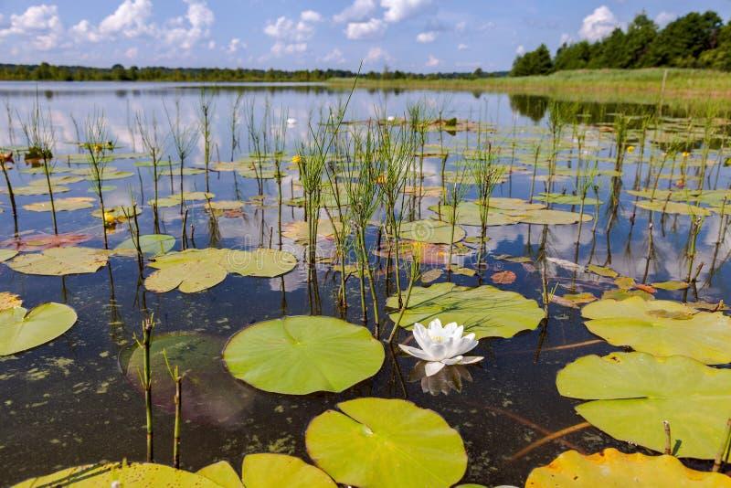De zomerlandschap met waterlelies royalty-vrije stock fotografie