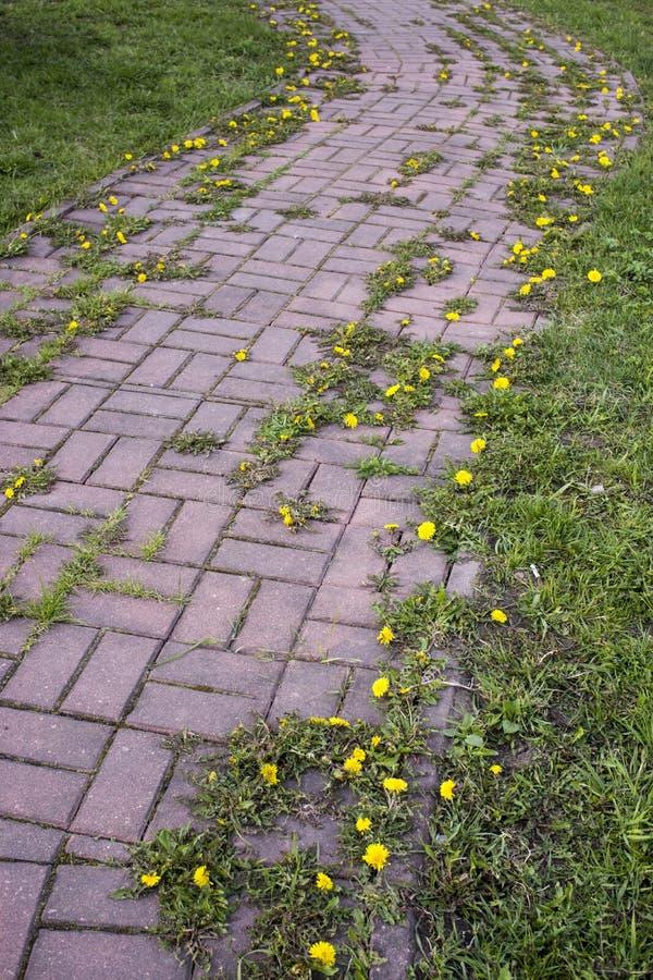 De zomerlandschap met weg door geel paardebloemgebied De heldere zomer die in landelijke weg voelen Het wilde Bloemen Bloeien stock foto's