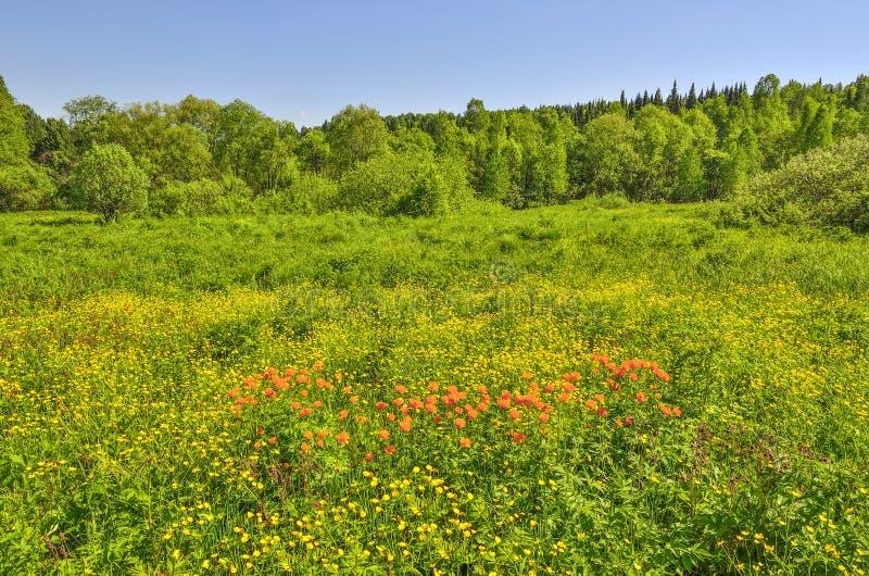 De zomerlandschap van tot bloei komende bosopen plek met oranje wild FL royalty-vrije stock afbeelding