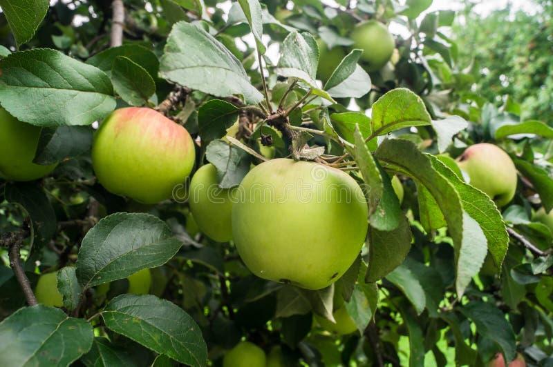 De zomermening van bijna rijpe appelen op de tak van de appelboom royalty-vrije stock foto's