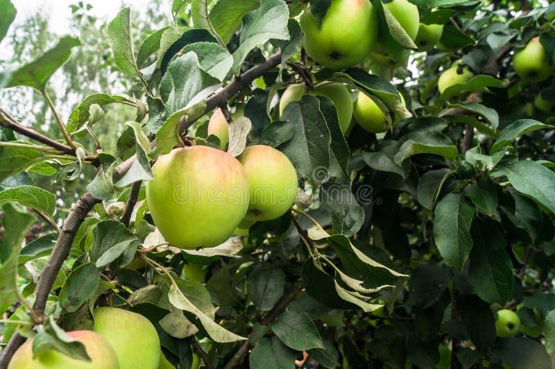 De zomermening van bijna rijpe appelen op de tak van de appelboom stock foto