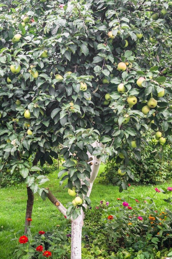 De zomermening van bijna rijpe appelen op de tak van de appelboom stock fotografie