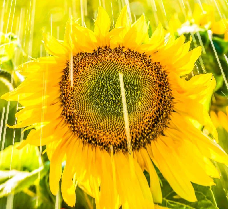 De zomerregen op een gebied van zonnebloem royalty-vrije stock afbeelding