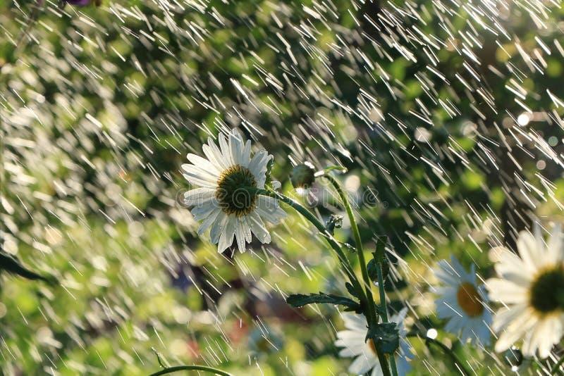 De zomerregen in de tuin en madeliefjes met dalingen op de bokehachtergrond, vage nadruk Mooie de zomertuin in vroege ochtend royalty-vrije stock afbeelding