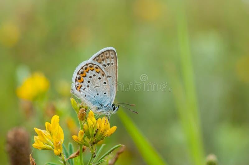 De zomerscène met gemeenschappelijke Blauwe vlinderzitting op wilde gele bloemen royalty-vrije stock foto's