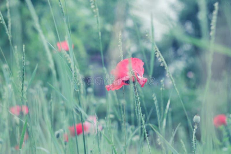 De de zomerscène met heldere rode papaver bloeit gebied, stemde de koude kleuren De achtergrond van het de zomerbehang royalty-vrije stock afbeeldingen