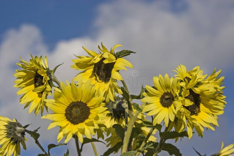 De de zomertijd is gelijk aan zonnebloemtijd stock afbeeldingen