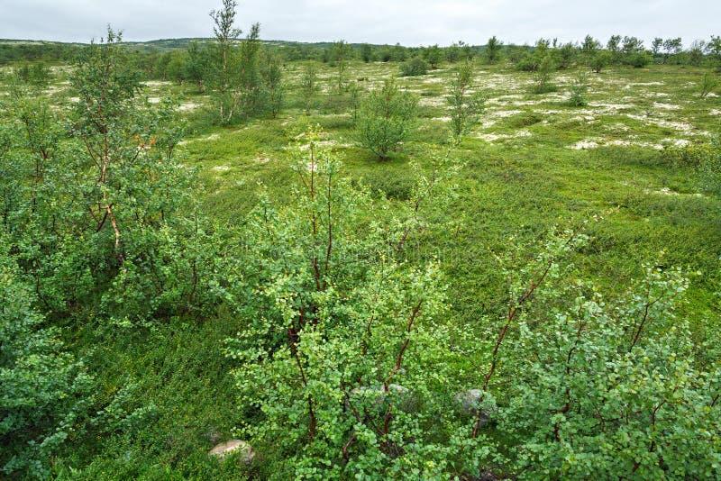 De de zomervegetatie in de bergtoendra, Kola Peninsula, royalty-vrije stock afbeeldingen