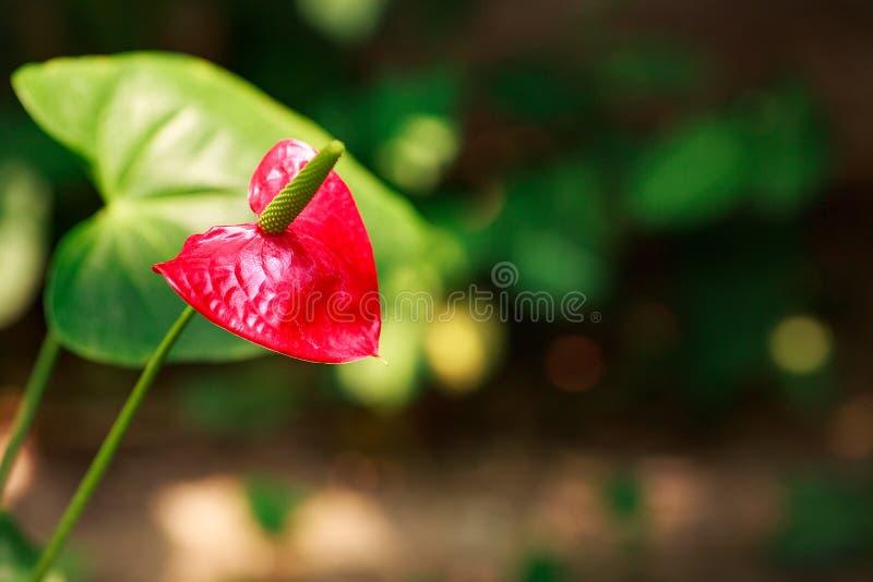 De de zomervlakte legt landschap met tropische bladeren en rode tropische bloemanthurium op groene achtergrond met exemplaarruimt royalty-vrije stock foto