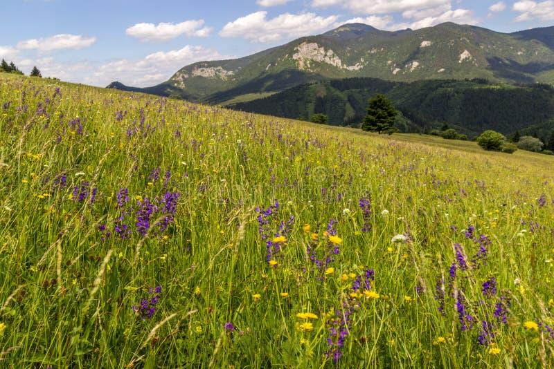 De zomerweide in landelijk noordelijk Slowakije royalty-vrije stock afbeeldingen