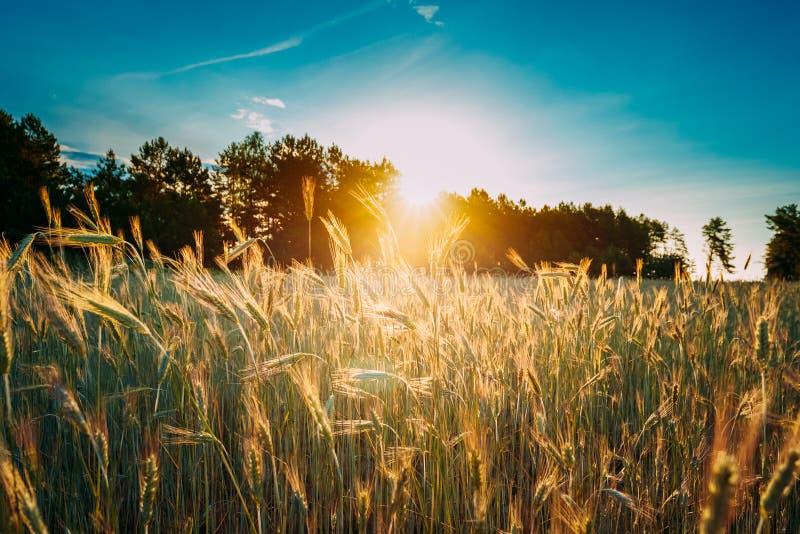 De zomerzon die boven Landbouwlandschap van Jong Groen W glanzen royalty-vrije stock afbeeldingen