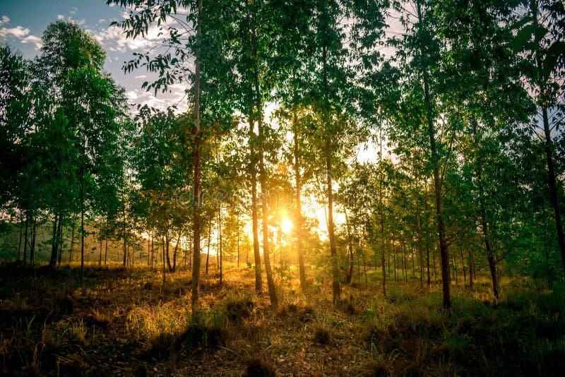 De zon die een bos van Eucalyptus kruisen stock afbeelding