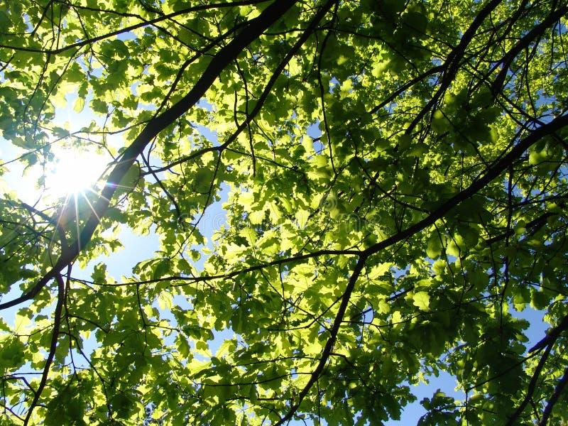 De zon en de eik. stock afbeeldingen