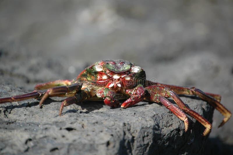 In de zon gedroogde Krab royalty-vrije stock afbeeldingen