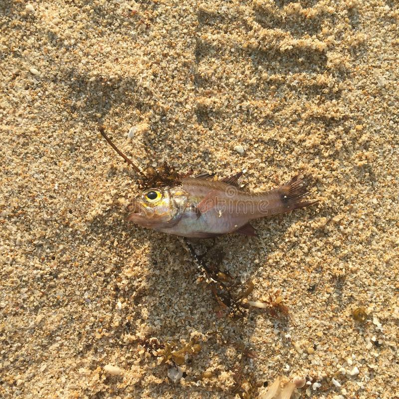 in de zon gedroogde vissen op het strand stock fotografie