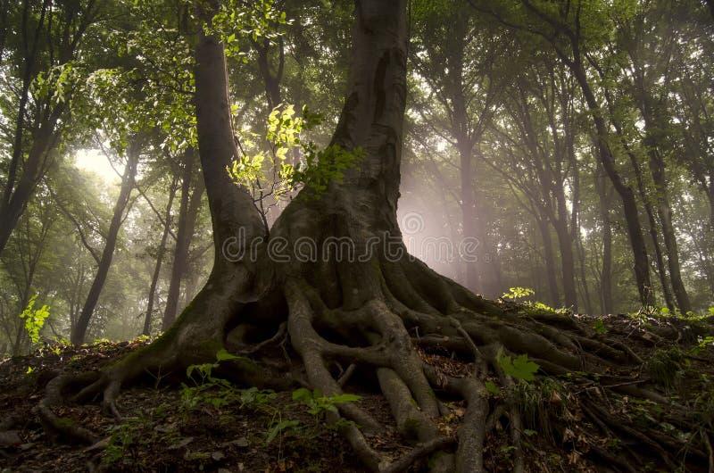 De zon glanst in een bos met boom met grote wortels royalty-vrije stock afbeelding