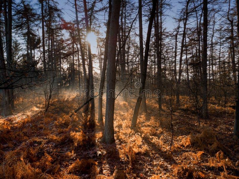 De zon glanst in het lichtjes mistige bos op een koude de winterdag stock fotografie