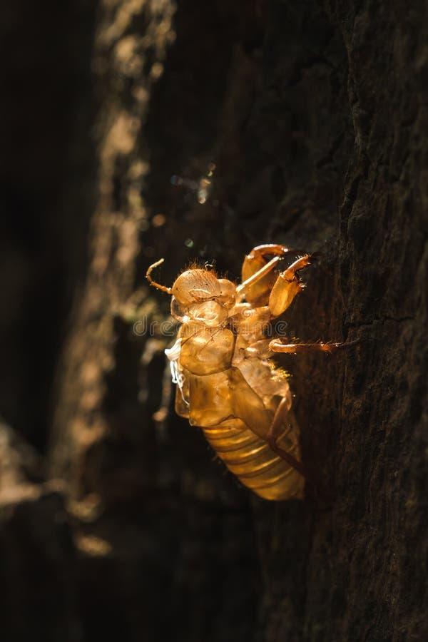 De zon glanst op de cicade in de boom royalty-vrije stock foto