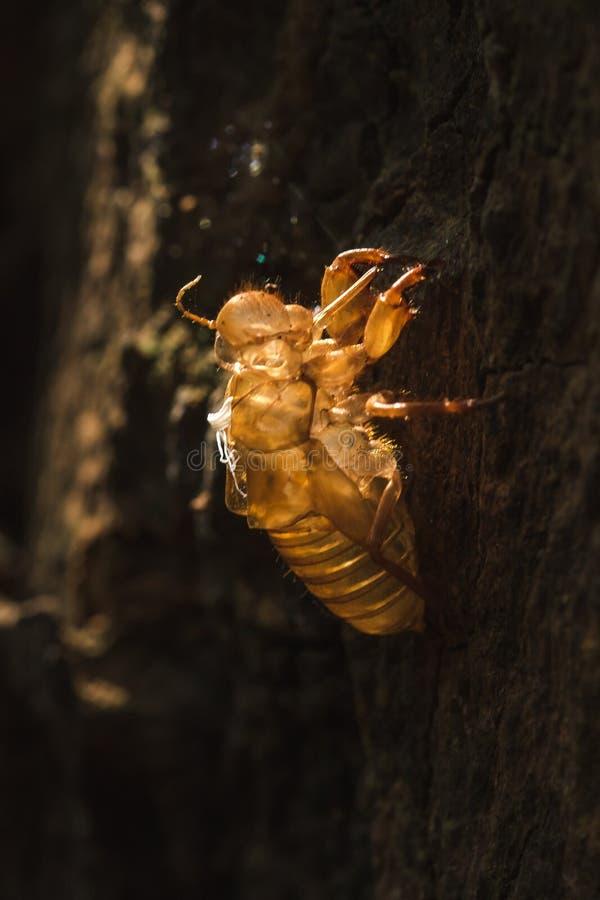 De zon glanst op de cicade in de boom royalty-vrije stock fotografie