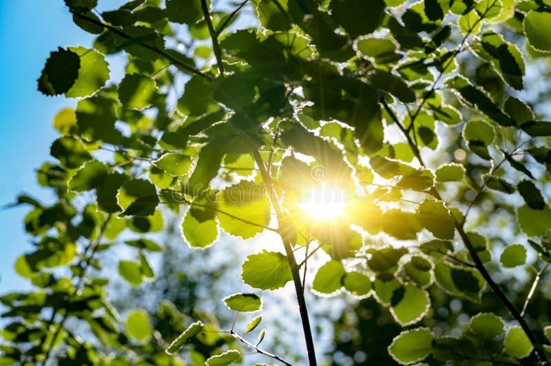 De zon kijkt uit door de groene bladeren van installaties in het Siberische bos stock fotografie