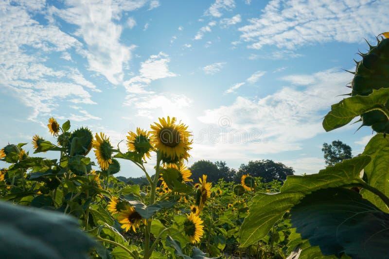 De zon neemt achter een gebied van zonnebloemen toe onder een blauwe hemel met wolken royalty-vrije stock afbeeldingen